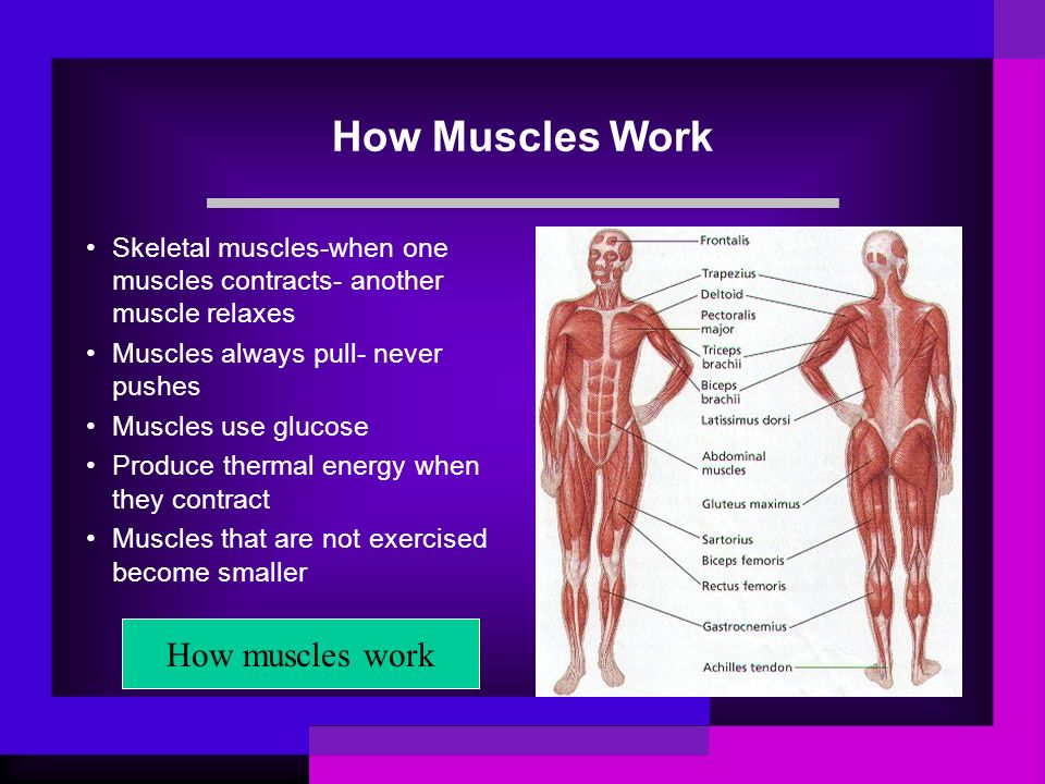 How Muscles Work How muscles work