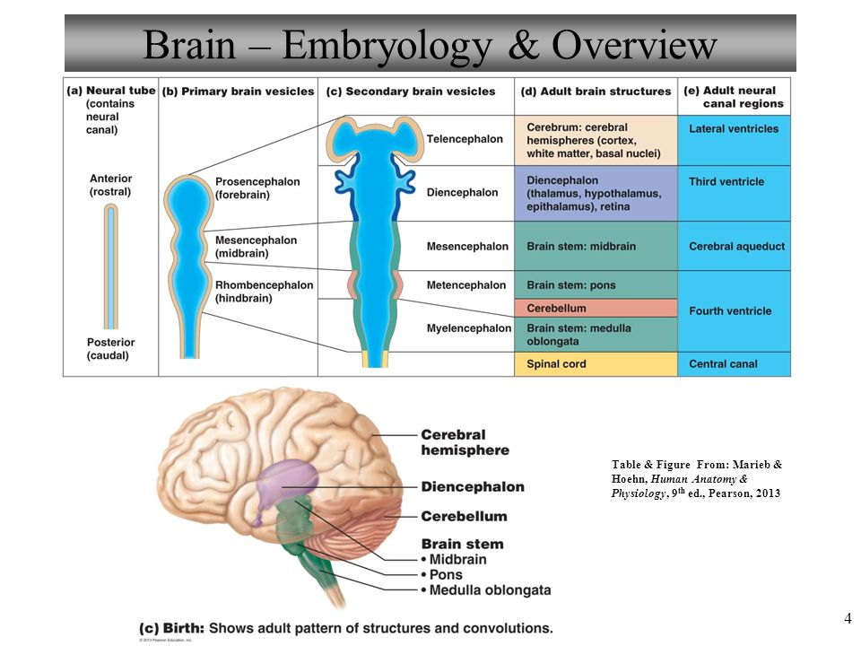 Human brain anatomy ventricles