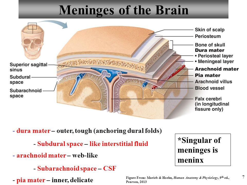 Bonito Anatomy And Physiology Of Meninges Regalo - Anatomía de Las ...