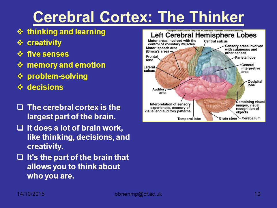 Where The Mind Is Biggest The Heart The Senses: Central Nervous System (Brain And Spinal Cord)
