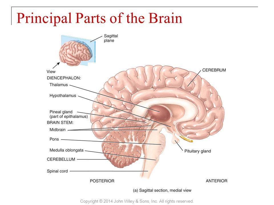Perfect Brain Sagittal View Festooning - Human Anatomy Images ...