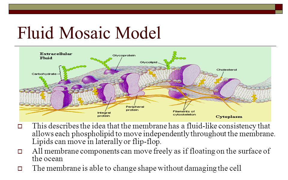 ap biology cell membrane essay questions 2017 ap® biology free-response questions  (a) describe one  characteristic of the plasma membrane that allows estrogens to passively cross  the.