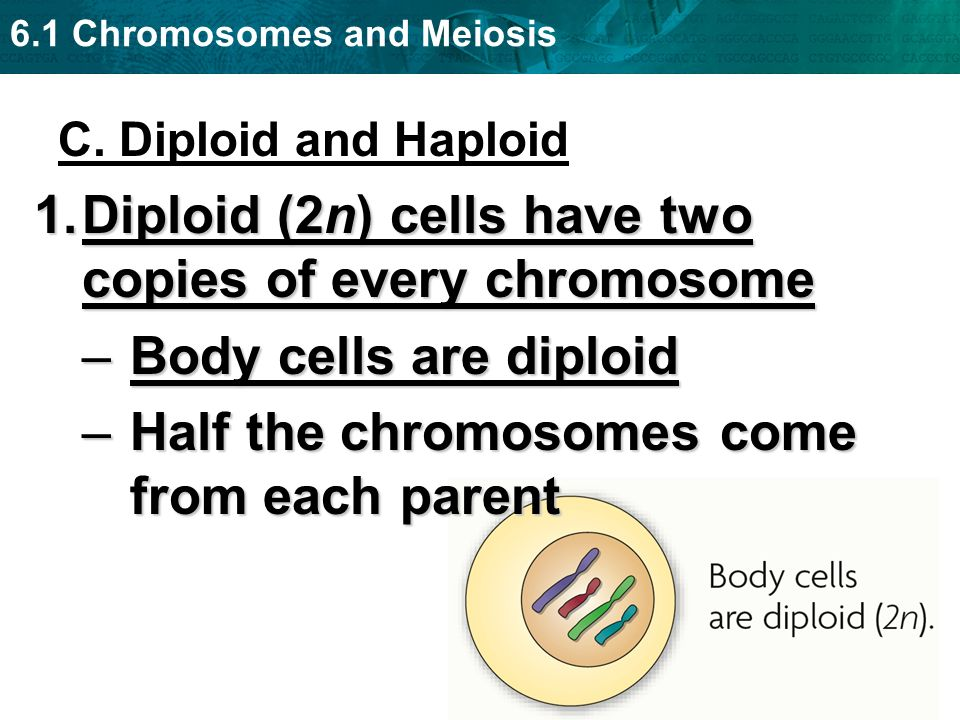Diploid (2n) cells have two copies of every chromosome