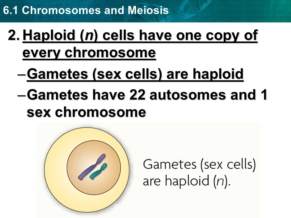 Haploid (n) cells have one copy of every chromosome