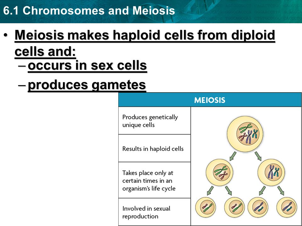 Meiosis makes haploid cells from diploid cells and:
