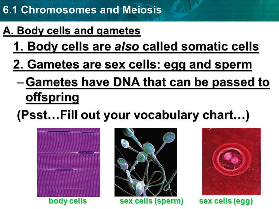 A. Body cells and gametes