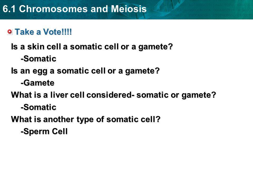 Take a Vote!!!! Is a skin cell a somatic cell or a gamete -Somatic. Is an egg a somatic cell or a gamete