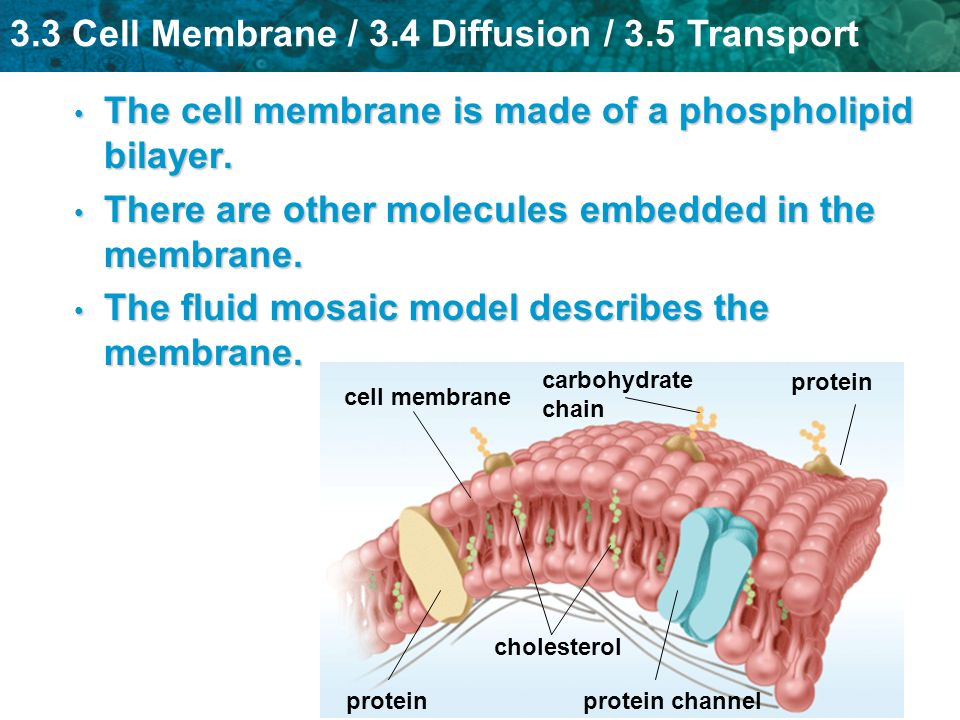 The cell membrane is made of a phospholipid bilayer.