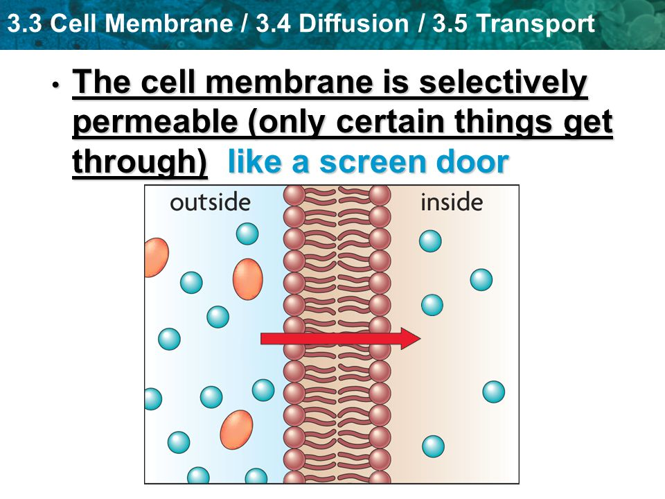 The cell membrane is selectively permeable (only certain things get through) like a screen door