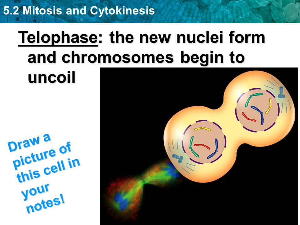 Telophase: the new nuclei form and chromosomes begin to uncoil