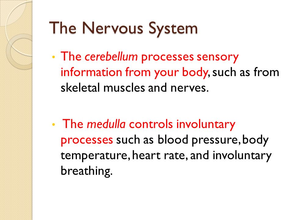 The Nervous System The cerebellum processes sensory information from your body, such as from skeletal muscles and nerves.