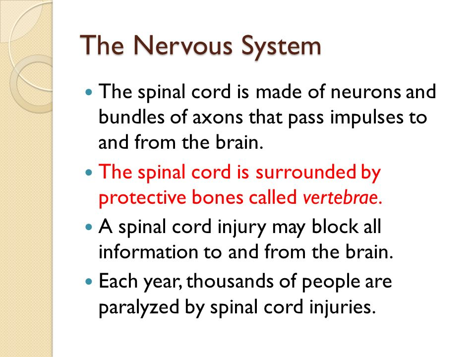 The Nervous System The spinal cord is made of neurons and bundles of axons that pass impulses to and from the brain.