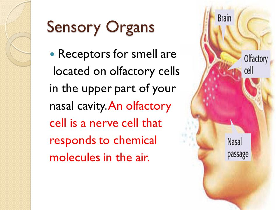 Sensory Organs Receptors for smell are located on olfactory cells