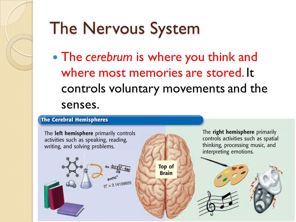 The Nervous System The cerebrum is where you think and where most memories are stored.