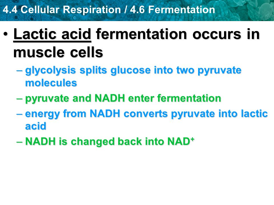 Lactic acid fermentation occurs in muscle cells