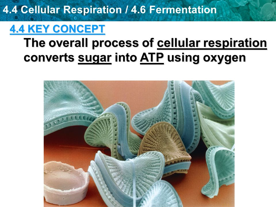 4.4 KEY CONCEPT The overall process of cellular respiration converts sugar into ATP using oxygen