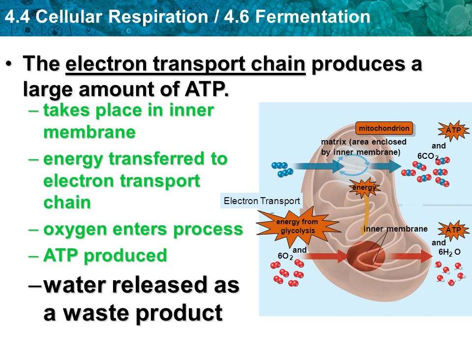 cellular respiration and fermentation 9cellular respirationand fermentationo v e r v i e wlife is workliving cells require transfusions of energy from outsidesources to perform their many tasks—for example, assemblingpolymers, pumping substances across membranes cellular respiration, harvesting chemical energy fermentation.