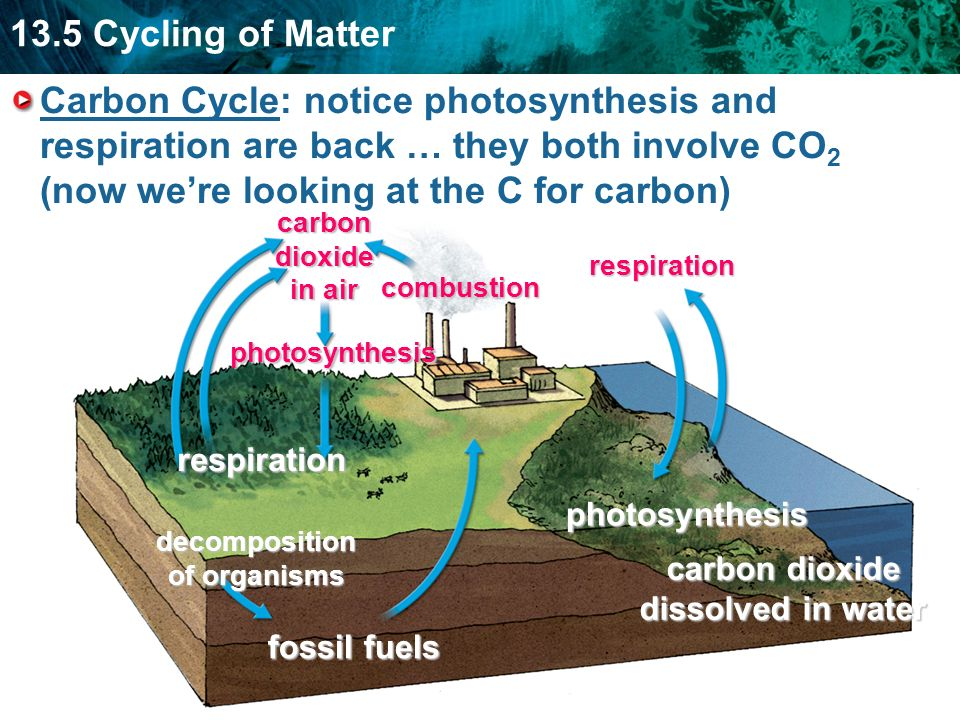 Carbon Cycle: notice photosynthesis and respiration are back … they both involve CO2 (now we're looking at the C for carbon)