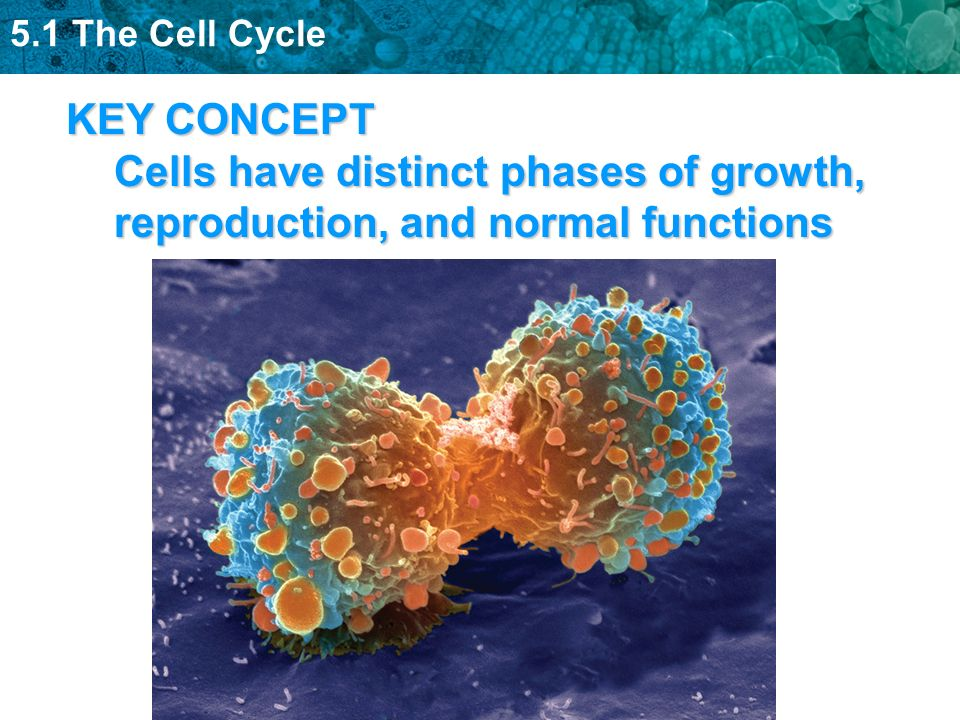 KEY CONCEPT Cells have distinct phases of growth, reproduction, and normal functions