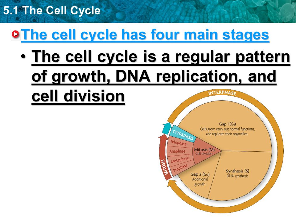 The cell cycle has four main stages