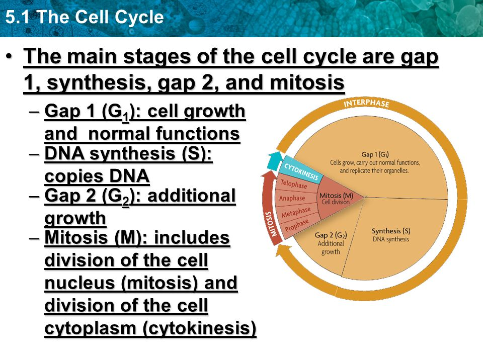 The main stages of the cell cycle are gap 1, synthesis, gap 2, and mitosis