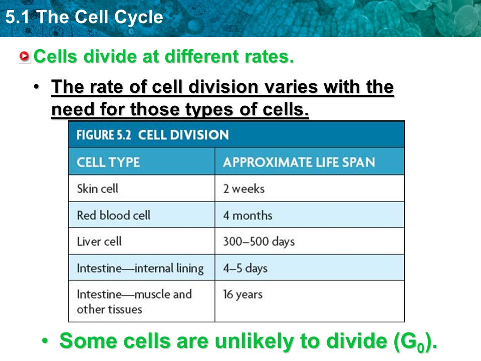 Cells divide at different rates.