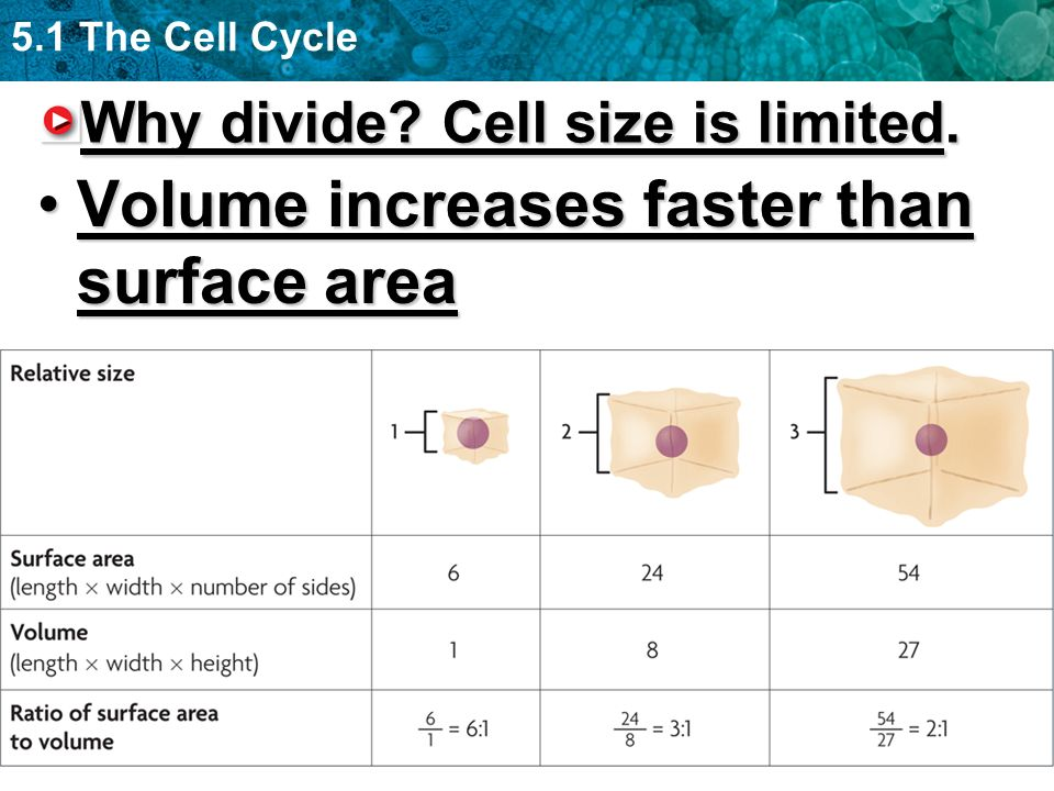 Why divide Cell size is limited.