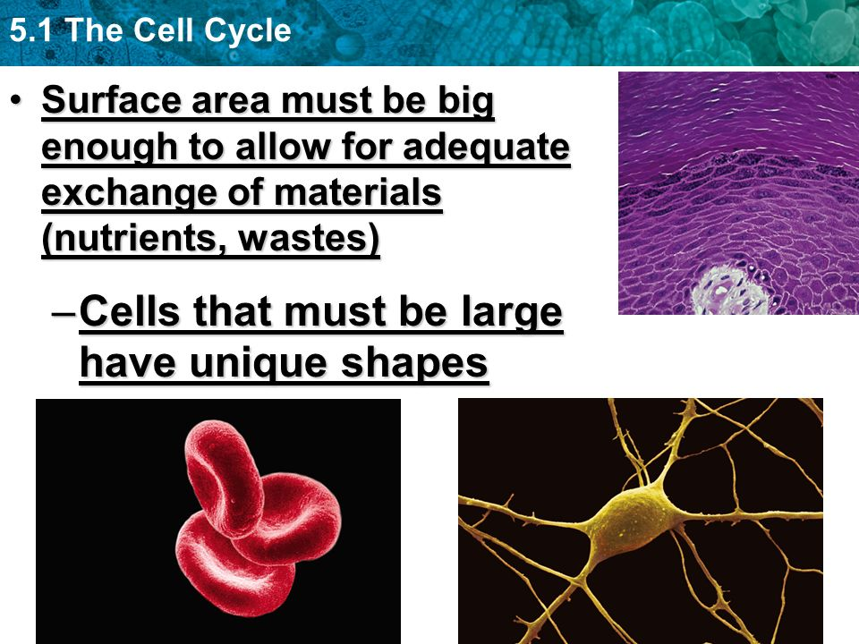 Cells that must be large have unique shapes