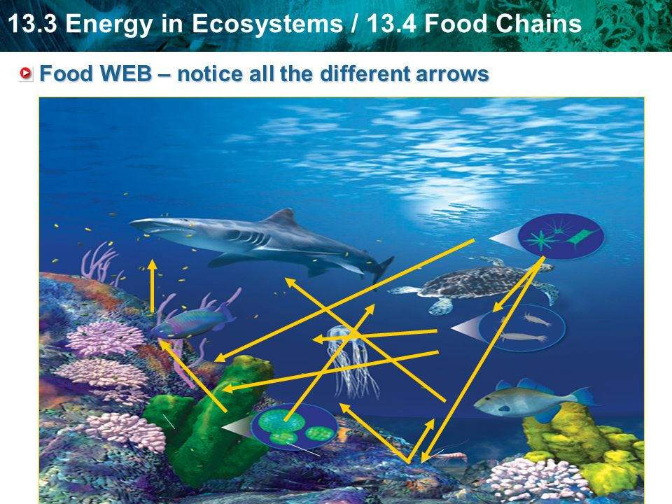 Food WEB – notice all the different arrows