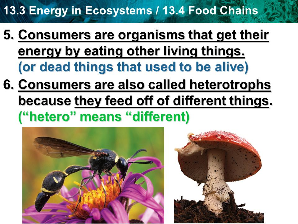 Consumers are organisms that get their energy by eating other living things. (or dead things that used to be alive)
