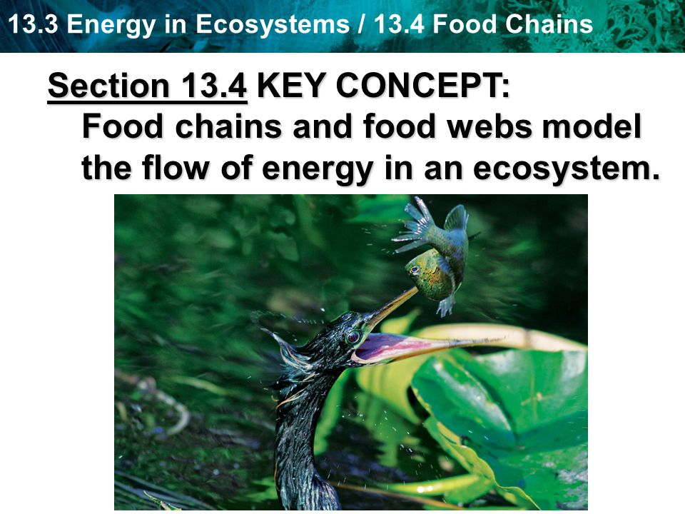 Section 13.4 KEY CONCEPT: Food chains and food webs model the flow of energy in an ecosystem.