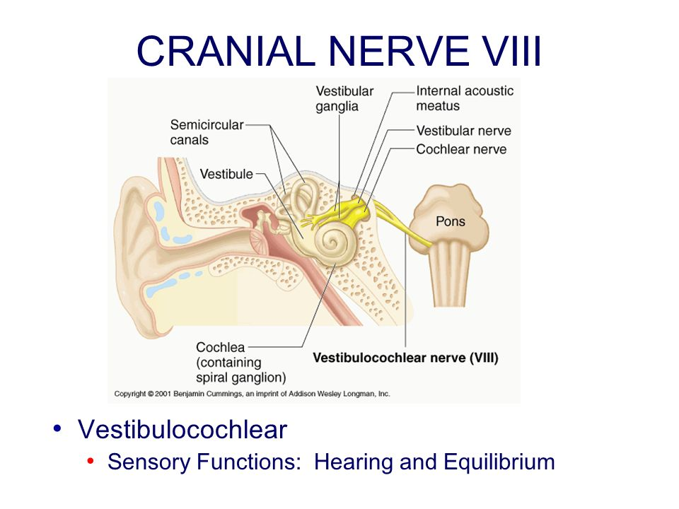 vestibulocochlear or viii cranial nerve essay Vestibulocochlear nerve (cn viii) the vestibulocochlear nerve has two branches: the cochlear division, which mediates hearing, and the vestibular division, which provides information about the orientation of the head with respect to gravity.