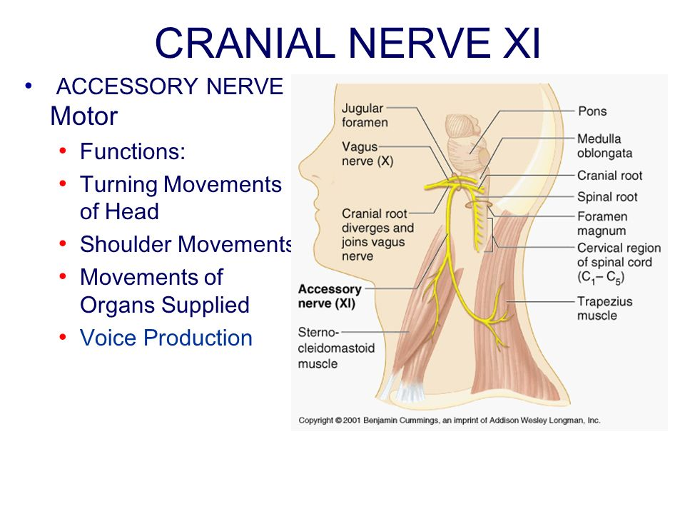 CRANIAL NERVE XI ACCESSORY NERVE Motor Functions: