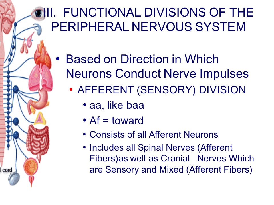 chapter 10 the nervous system Central nervous system, spinal nerves, and cranial nerves slideshare uses cookies to improve functionality and performance, and to provide you with relevant advertising if you continue browsing the site, you agree to the use of cookies on this website.