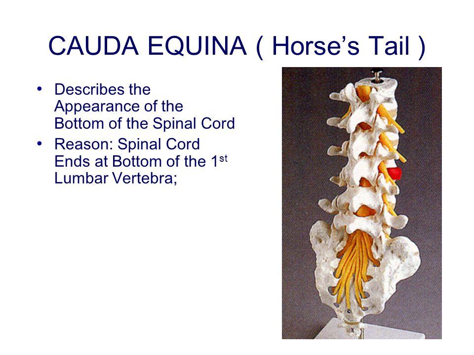 CAUDA EQUINA ( Horse's Tail )