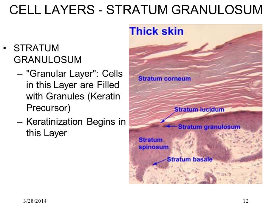 CELL LAYERS ‑ STRATUM GRANULOSUM