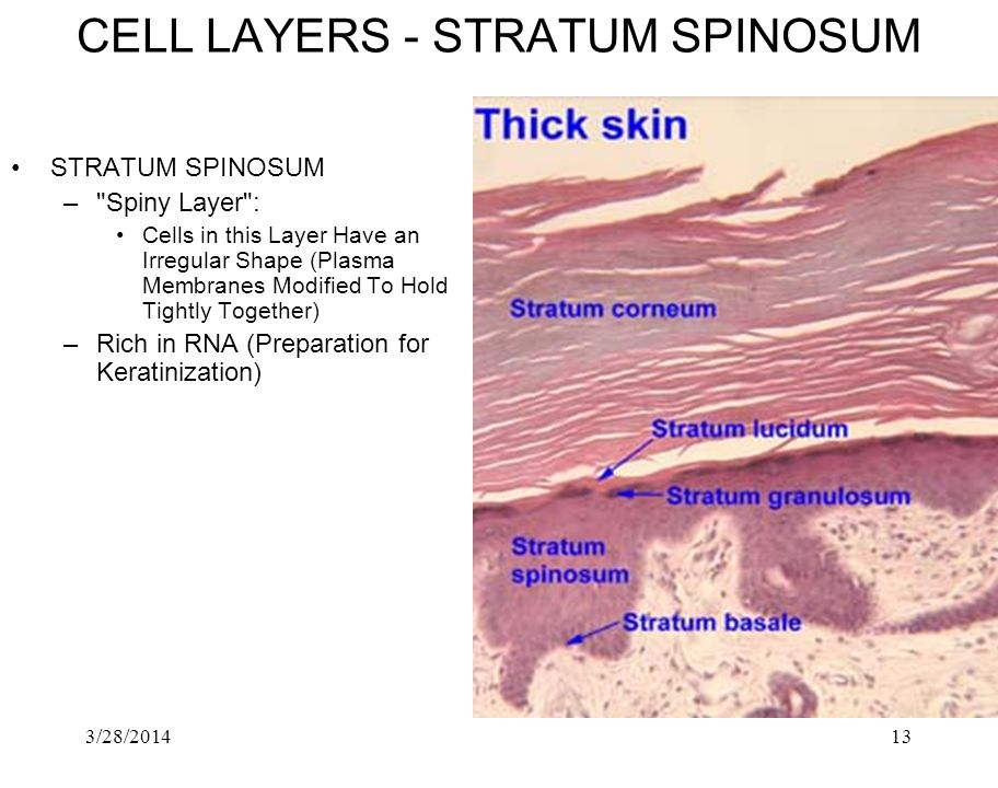 CELL LAYERS ‑ STRATUM SPINOSUM