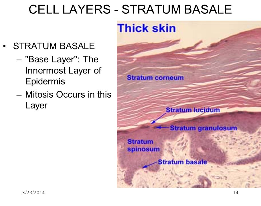 CELL LAYERS ‑ STRATUM BASALE