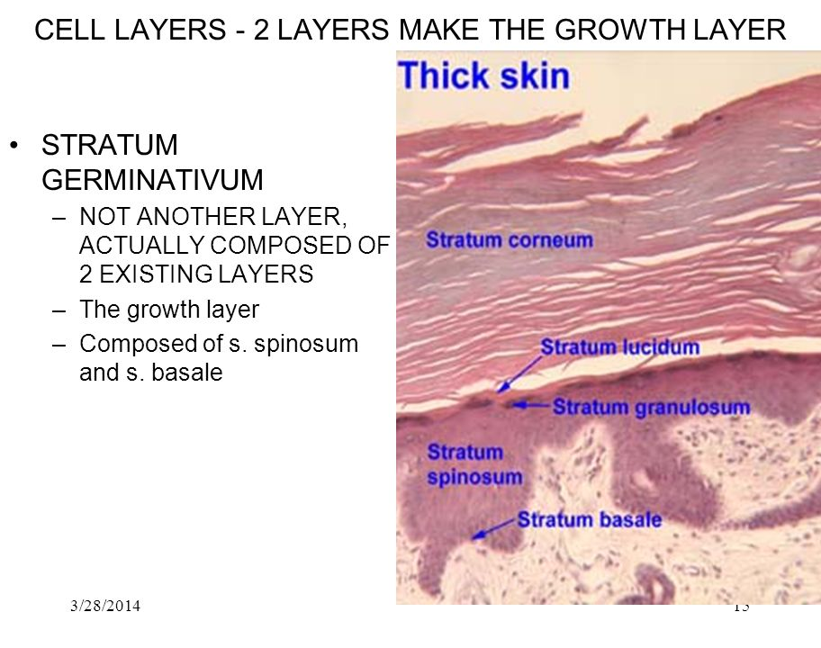 CELL LAYERS ‑ 2 LAYERS MAKE THE GROWTH LAYER