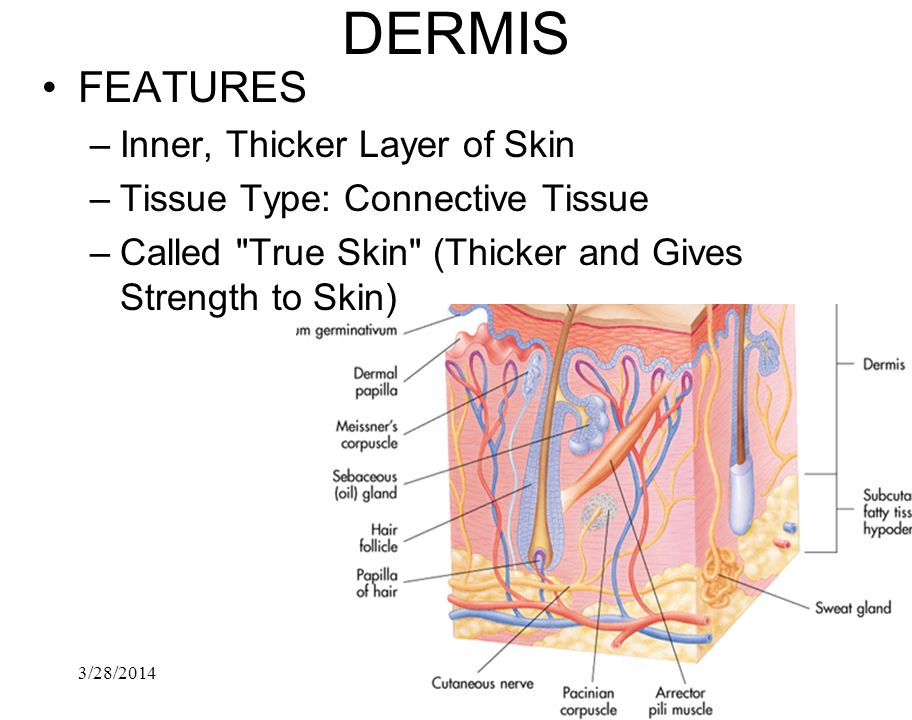 DERMIS FEATURES Inner, Thicker Layer of Skin