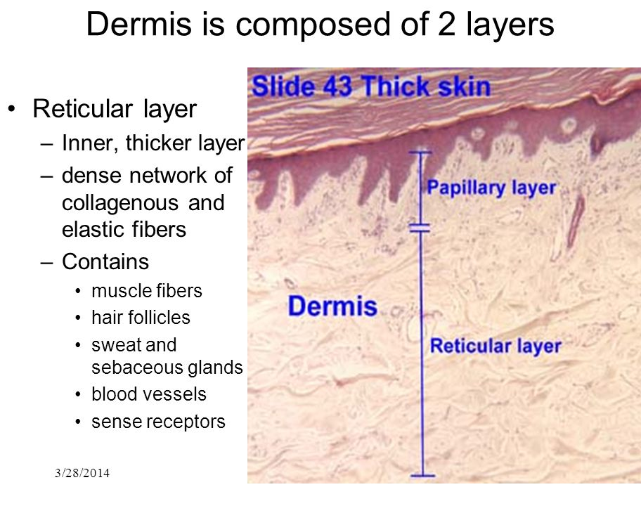 Dermis is composed of 2 layers
