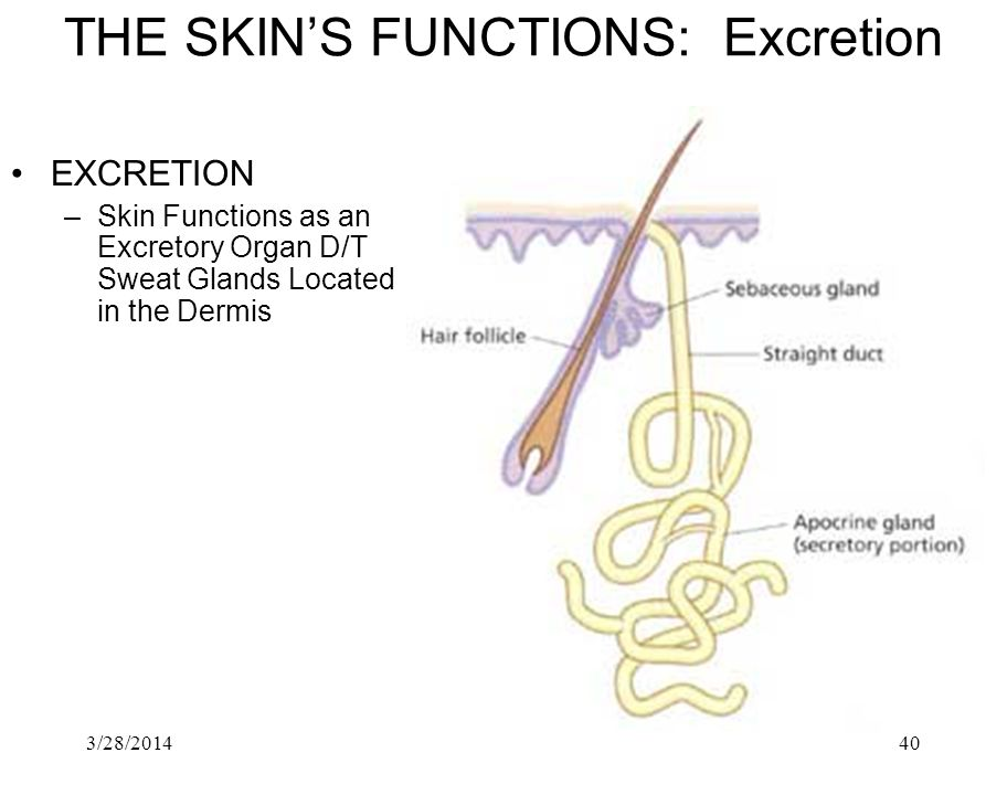 THE SKIN'S FUNCTIONS: Excretion