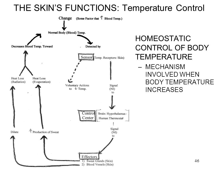 THE SKIN'S FUNCTIONS: Temperature Control