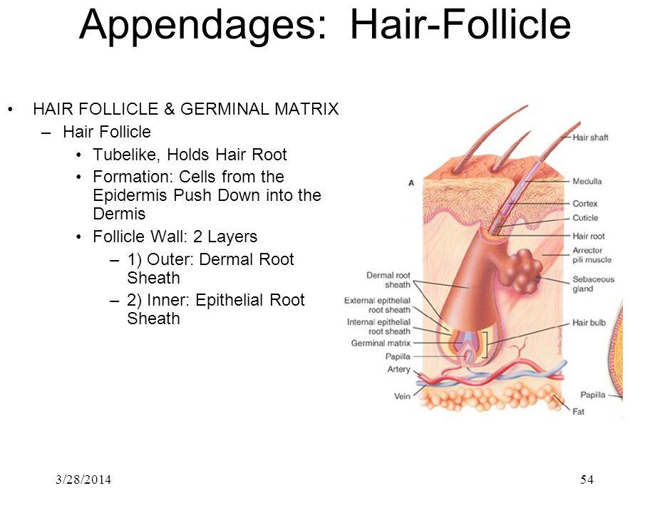 Appendages: Hair-Follicle