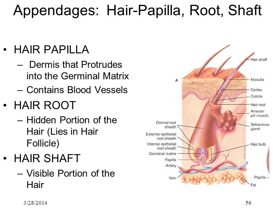 Appendages: Hair-Papilla, Root, Shaft