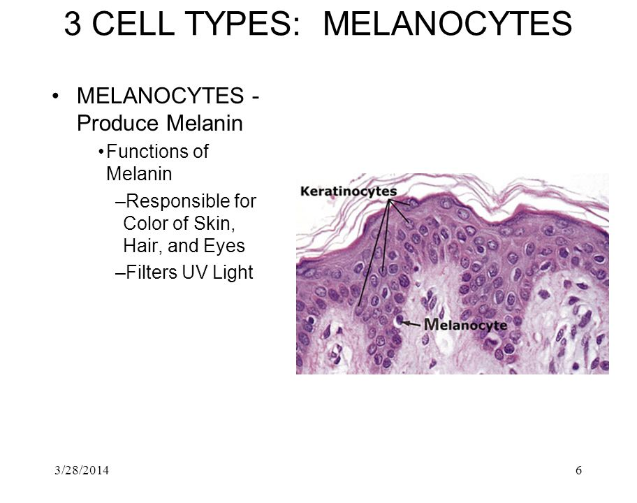 3 CELL TYPES: MELANOCYTES