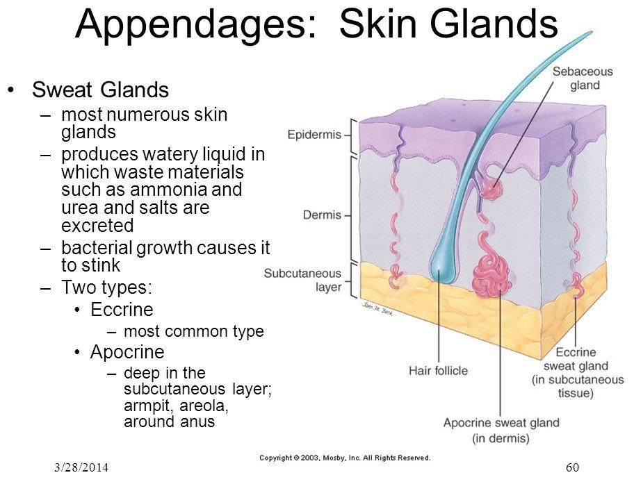 Appendages: Skin Glands