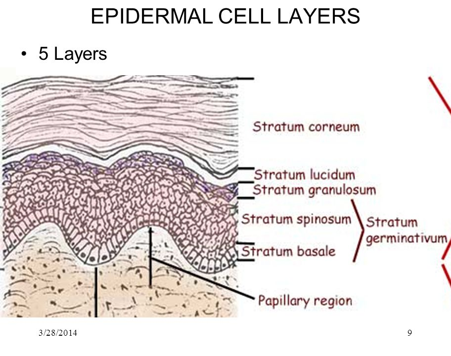 EPIDERMAL CELL LAYERS 5 Layers 3/28/2017