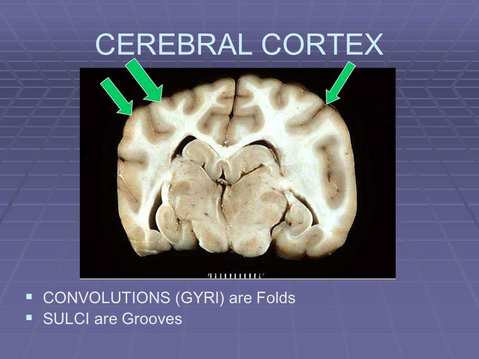 CEREBRAL CORTEX CONVOLUTIONS (GYRI) are Folds SULCI are Grooves