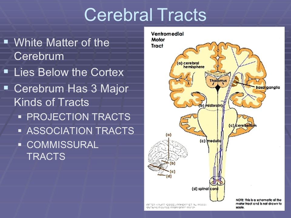 Cerebral Tracts White Matter of the Cerebrum Lies Below the Cortex